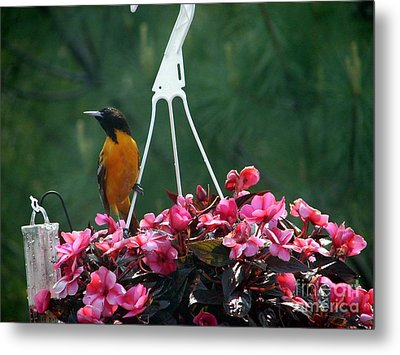 Baltimore Oriole Metal Print by Ronald Tseng