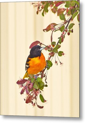 Baltimore Oriole Metal Print