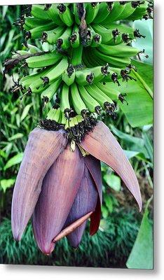 Banana Blossom Metal Print by Linda Phelps