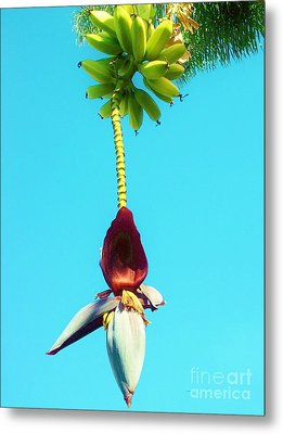 Metal Print featuring the photograph Banana In Full Bloom by Jasna Gopic
