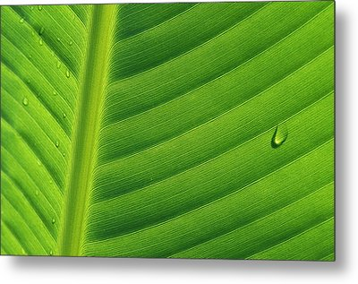 Banana Musa Sp Close Up Of Leaf Metal Print by Cyril Ruoso