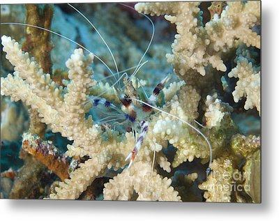 Banded Coral Shrimp Amongst Staghorn Metal Print by Steve Jones