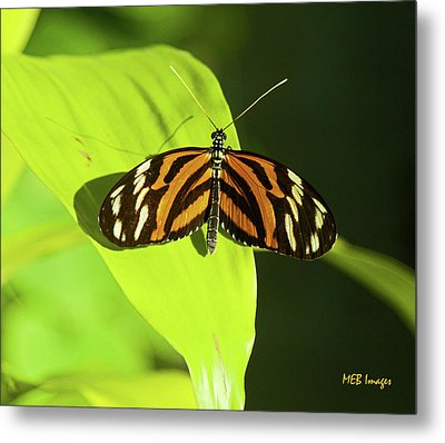 Banded Orange Butterfly Metal Print by  Margaret Buchanan