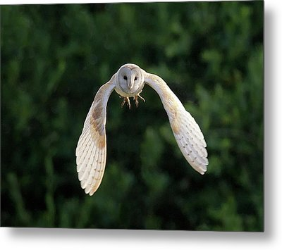 Barn Owl Flying Metal Print