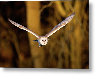 Barn Owl In Flight Metal Print by MarkBridger