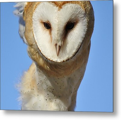Barn Owl Up Close Metal Print by Paulette Thomas