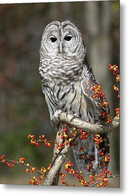 Barred Owl And Bittersweet Metal Print by Cindy Lindow
