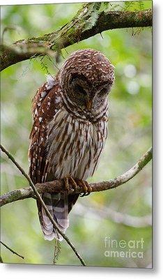 Barred Owl Metal Print by Joe Elliott