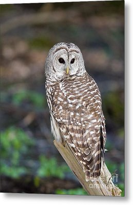Metal Print featuring the photograph Barred Owl by Les Palenik