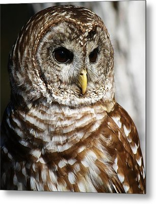 Barred Owl Metal Print by Paulette Thomas