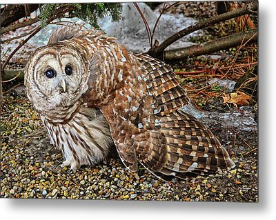 Barred Owl Warning Metal Print