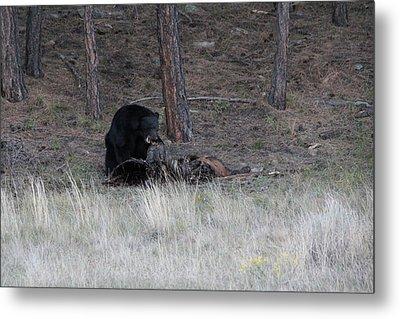 Bear Eating An Elk Metal Print by David Wilkinson