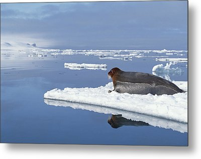Bearded Seal Resting On Ice Floe Norway Metal Print by Flip Nicklin