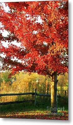 Beautiful Red Maple Tree  Metal Print by Sandra Cunningham