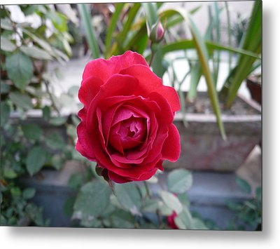 Beautiful Red Rose In A Small Garden Metal Print by Ashish Agarwal