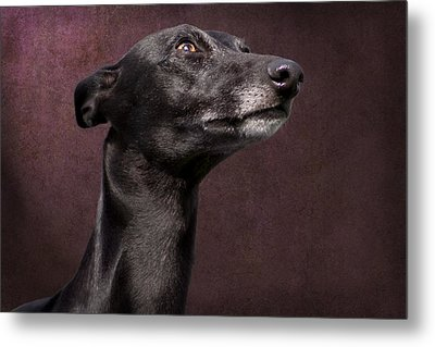 Metal Print featuring the photograph Beautiful Whippet Dog by Ethiriel  Photography