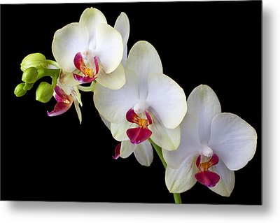 Beautiful White Orchids Metal Print by Garry Gay
