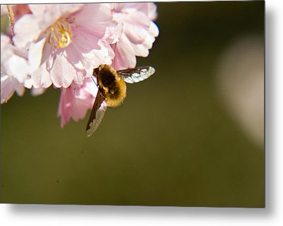 Bee Fly Feeding 4 Metal Print by Douglas Barnett