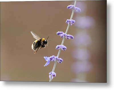 Bee Flying Towards Flowers Metal Print by Darren Moston