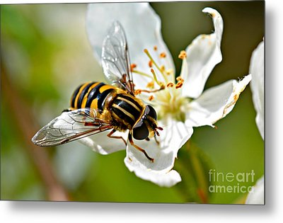 Bee On Apple Blossom Metal Print by Lila Fisher-Wenzel