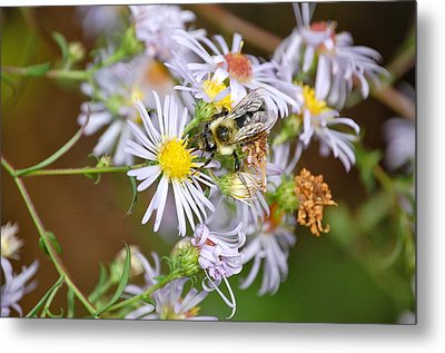 Metal Print featuring the photograph Bee On Aster by Mary McAvoy