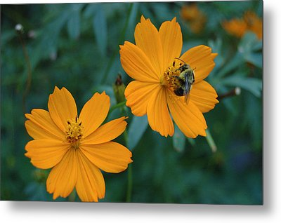 Bee On Cosmos Flower  Metal Print