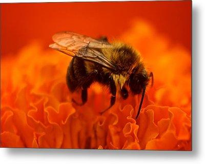 Bee On Orange Flower Metal Print