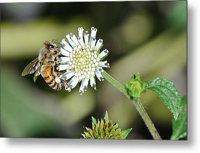 Metal Print featuring the photograph Bee On White Clover by Jodi Terracina
