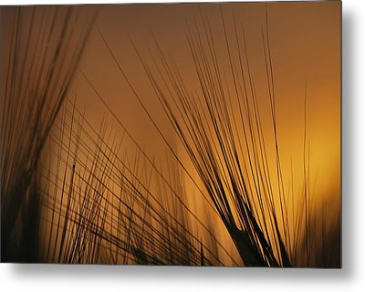 Before Harvest Metal Print by Julianna Horvath