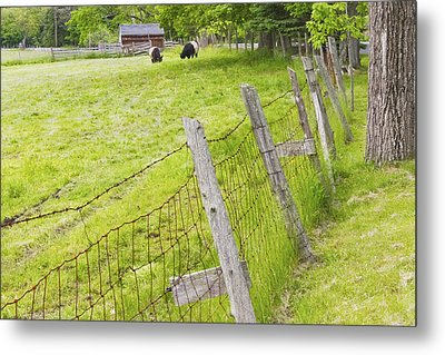 Belted Galloway Cows Farm Rockport Maine Metal Print