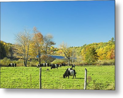 Belted Galloway Cows Grazing On Grass In Rockport Farm Fall Main Metal Print by Keith Webber Jr