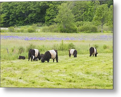 Belted Galloway Cows Pasture Rockport Maine Photograph Metal Print
