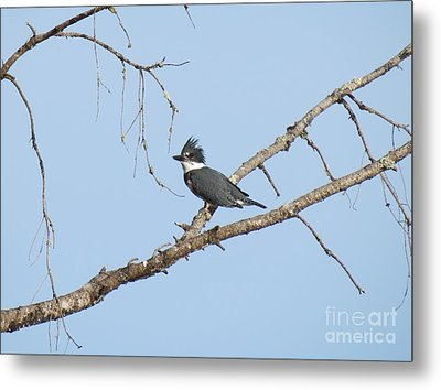 Belted Kingfisher Metal Print by Gayle Swigart