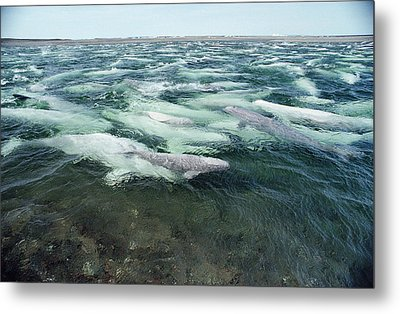 Belugas Swimming And Molting Metal Print by Flip Nicklin