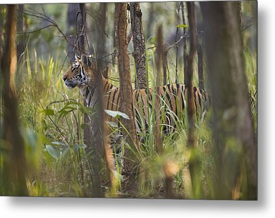 Bengal Tiger  17-month Old Metal Print by Richard Packwood