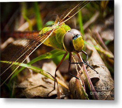 Metal Print featuring the photograph Big Brown Eyes by Cheryl Baxter