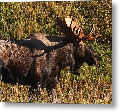 Metal Print featuring the photograph Big Bull by Doug Lloyd