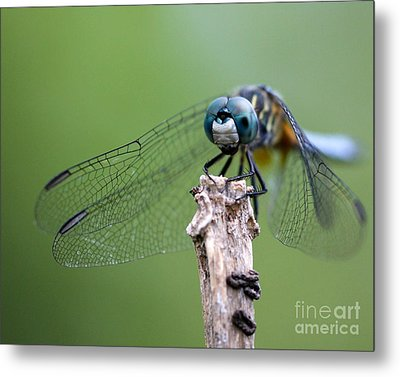 Big Eyes Blue Dragonfly Metal Print by Sabrina L Ryan