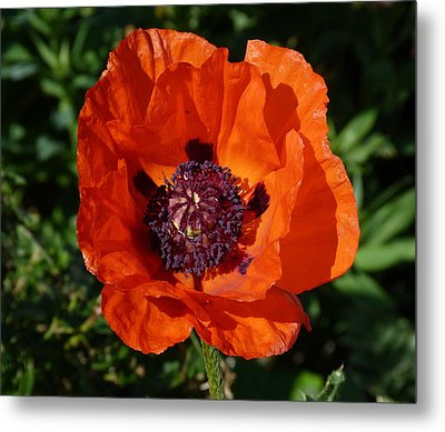 Metal Print featuring the photograph Big Red Poppy by Lynn Bolt