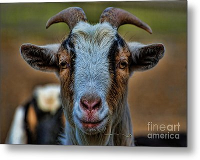 Billy Goat Metal Print by Paul Ward