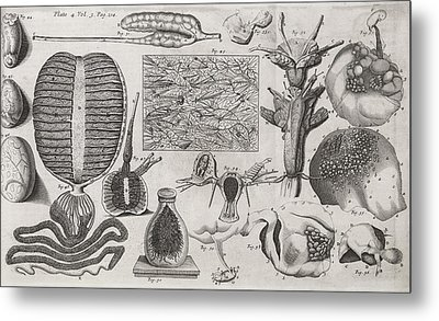 Biological Illustrations, 17th Century Metal Print by Middle Temple Library