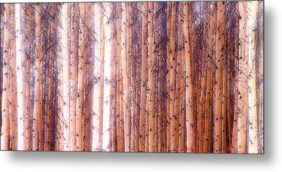 Birch Gathering  Metal Print
