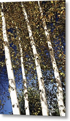Birch Trees In Fall Metal Print by Elena Elisseeva