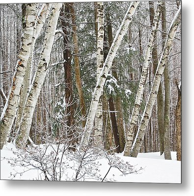 Birches Metal Print by Mary McAvoy