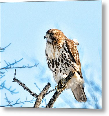 Bird - Red Tail Hawk - Endangered Animal Metal Print by Paul Ward