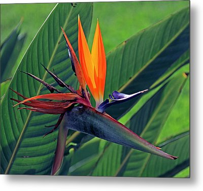 Bird Of Paradise Metal Print by Larry Nieland