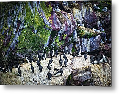 Birds At Cape St. Mary's Bird Sanctuary In Newfoundland Metal Print by Elena Elisseeva
