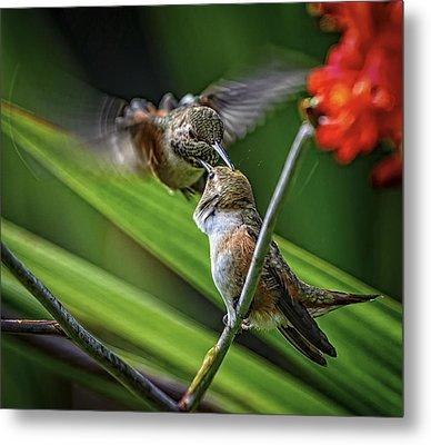 Birds Of Bc - No. 32 - Two Rufous Hummingbirds - Selasphorus Ruf Metal Print by Paul W Sharpe Aka Wizard of Wonders