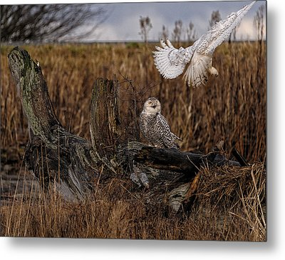 Birds Of Bc - No.14 - Snowy Owl Fly By Metal Print