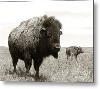 Bison And Calf Metal Print by Olivier Le Queinec